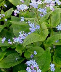 Archives garden gem of the month brunnera macrophylla or siberian bugloss is a low growing perennial with attractive leaves and tiny blue flowers the season of bloom is early to late mightylinksfo